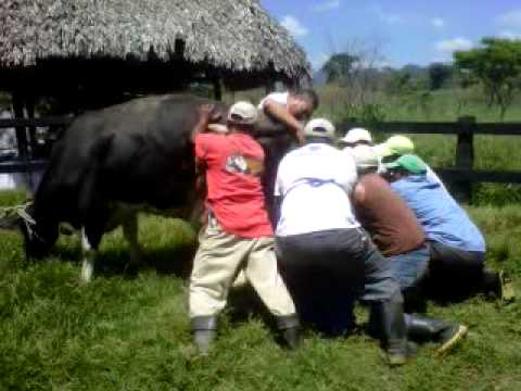 Amazing Cow Birth revived calf