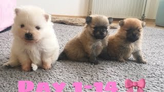 Watching Pomeranian Puppies Grow 💗 First Two Weeks 🌸