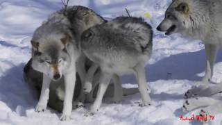 Wild Wolves Mating Moments Huge Gray Wolf Love Human