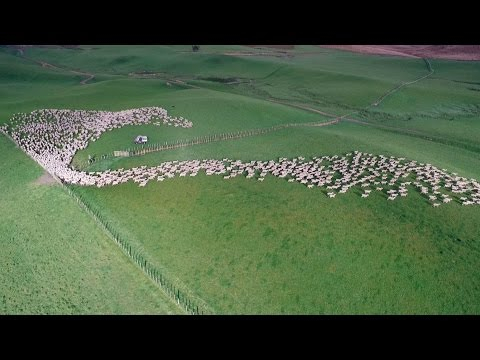 Mesmerising Mass Sheep Herding