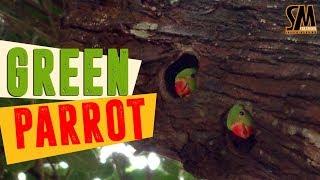 Beautiful Bangladeshi Parrot | টিয়া পাখি তার বাচ্চাকে খাওয়ানোর দৃশ্য
