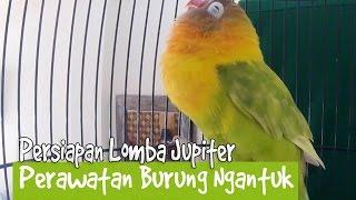 BRANDY WATCH : Lucu ! Lovebird Ngantuk ZUPITER Ngekek Panjang Satu Menit Up