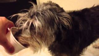Schnauzer terrier mix freaky addiction to frosty dog perina