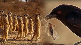 Drongo Bird Tricks Meerkats | Africa | BBC Earth