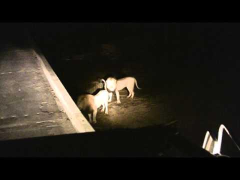 3 Lions vs 1 Lion Lower Sabie Night Drive 2013 08 21 Extended Cut