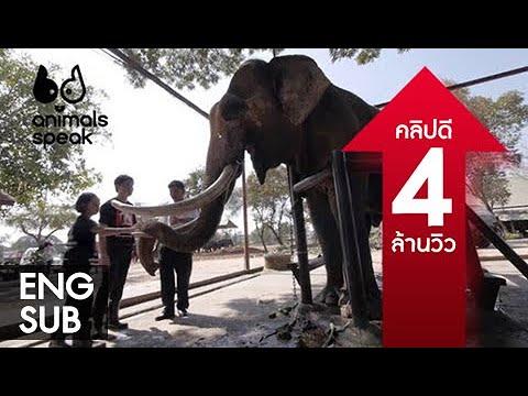 Animals Speak by Mahidol ช้างไทย อย่าให้เหลือไว้แค่งา 4 พฤษภาคม 2557