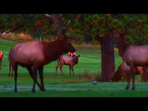 Xxx Mp4 Alpha Bull Elk And Cow Mating Before Sunrise 3gp Sex
