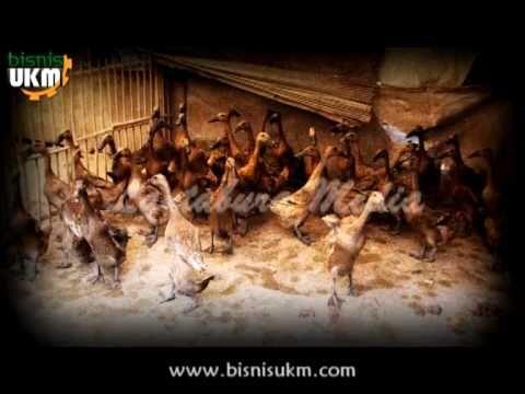 Peluang Bisnis Beternak Bebek
