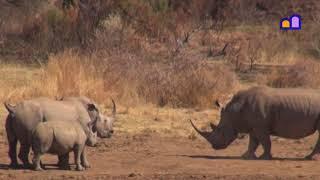 South Africa - Pilanesberg - Rhino Threat