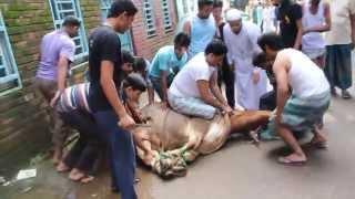 গরু কুরবানি Goru Qurbani  Eid ul Azha 2015 (Mirpur-12 Dhaka Bangladesh)