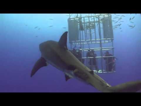 Grande Tubarão Branco TROLL