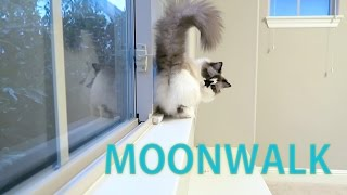 Michael Jackson Munchkin Cat