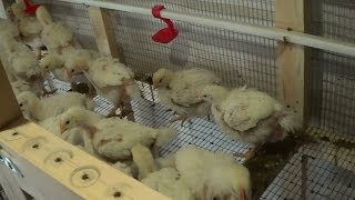 Уход и выращивание бройлерных цыплят 48