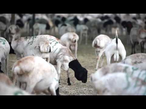 Meat for Mecca Somaliland Exports Livestock for the Hajj
