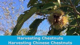 Harvesting Chestnuts Harvesting Chinese Chestnuts