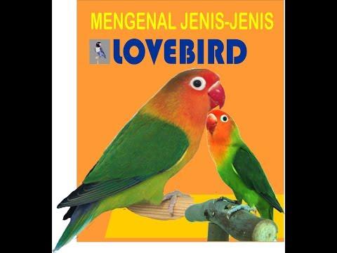 mengenal jenis lovebird 1