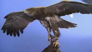 How does an eagle fly? - Deadly 60 - Series 2 - BBC