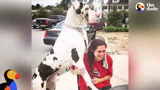 Great Dane Dog Pouts Until Mom Gives Him A Morning Hug - KERNEL | The Dodo