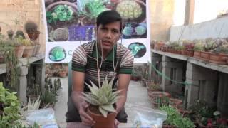 D A P & N P K Fertilizer how to use