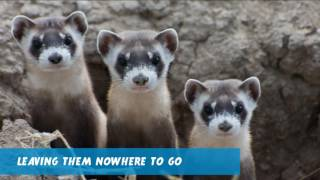 SAVE THE BLACK FOOTED FERRET