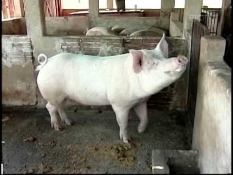 Agricultor de Maringá tem porco hermafrodita