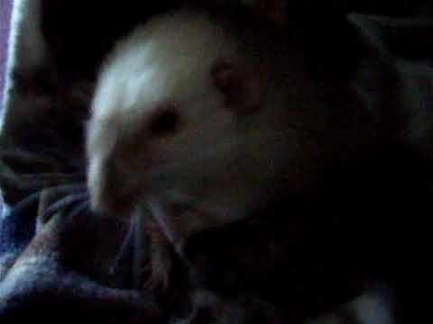 Xxx Mp4 VInny My 10 Month Old Rat Has Epilepsy This Is Him About 5 Minutes Into His Seizure Phase 3gp Sex