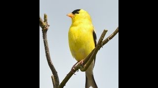 American Goldfinch Singing In Spring Download Mp3 Mp4 3GP HD Video