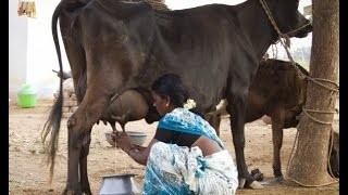 how to milk a cow by hand, village Cows