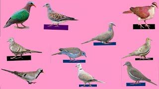 Top 10 Dove Bird