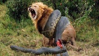 Lion VS Giant Anaconda Snake Giant Anaconda vs Felidae