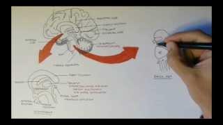 Brain Anatomy Overview - Lobes, Diencephalon, Brain Stem & Limbic System