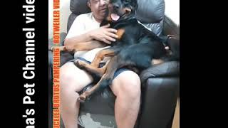 Video 1Rotweiler BRUTUS Fuuny Massage Pampering video..( Hema's Pet Channel)
