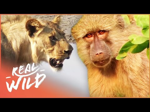 Valley Of The Golden Baboons Monkey Documentary Real Wild