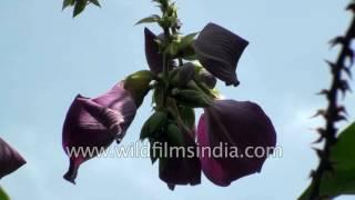 Human vulva or clitoris has flower named for it: Clitoria arborea