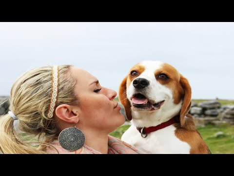 Why you should get a beagle | Cute dog compilation