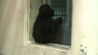 Baby Gorilla Looking For Keeper