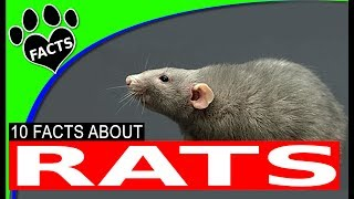 10 Fun Facts About Rats for Kids Information
