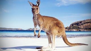 Kangaroos 😜 Funny Kangaroos Playing [Funny Pets]