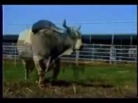 วัวชน รุ่นยักษ์ ไอ้แสนพลัง