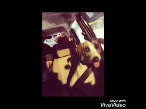 Desi Dog Rides only with Seat belt on | Amazing Animal videos |