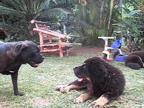 Cane corso & tibetan mastiff puppies playing