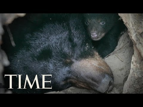 Xxx Mp4 Father And Son Caught On Video Killing A Black Bear And Her Cubs In Alaska Police Say TIME 3gp Sex
