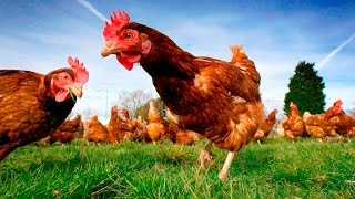 Is Certified Organic Chicken Worth It?