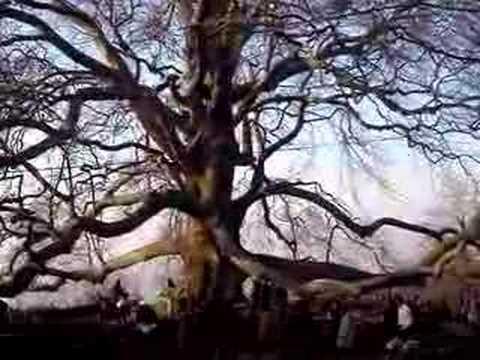Türkiye nin En Büyük Ağacı Tophane EML