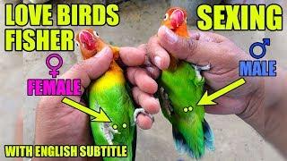 LOVE BIRDS mai male and female ki pehchan | sexing in love birds | video in URDU/Hindi