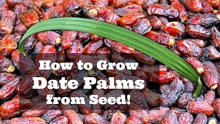 How to Grow Dates from Seed!