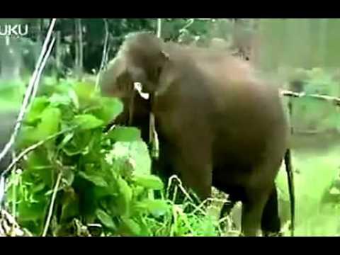 Elephants Apareandro Mating Animals