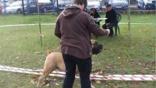 BOERBOEL AZYR BOERTAX - NATIONAL DOGS SHOW ( FCI )  LEGIONOWO 2012