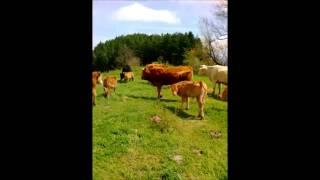 le mucche sull'Appennino ligure