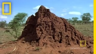 Her Majesty, The Termite Queen | National Geographic